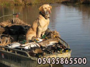 ördek avcı köpegi