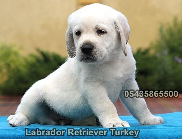 satılık beyaz labrador yavruları