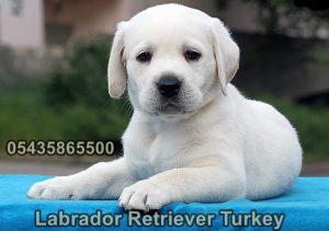 yavru beyaz labrador retriever