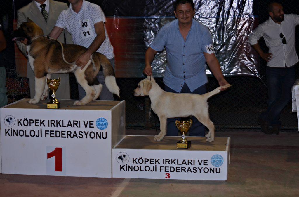 GORDON Labrador Retriever Turkey