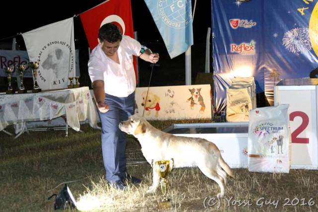 Amber Kingdom Guinea new Junior Ch Turkey
