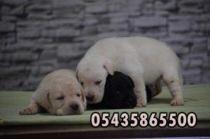 satılık labrador retriever yavruları