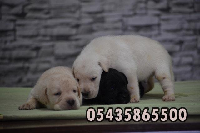 satılık labrador retriever yavru