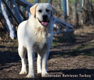 gordon labrador retriever turkey