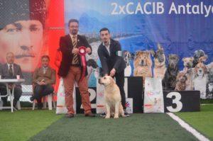 Antalya Cacib Köpek ırkları yarışması