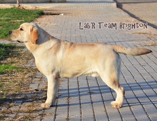 lab'R Tem Turkey