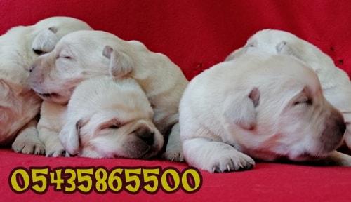 beyaz labrador yavrular