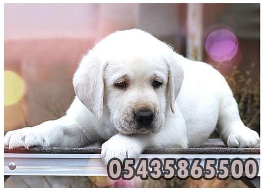 beyaz labrador
