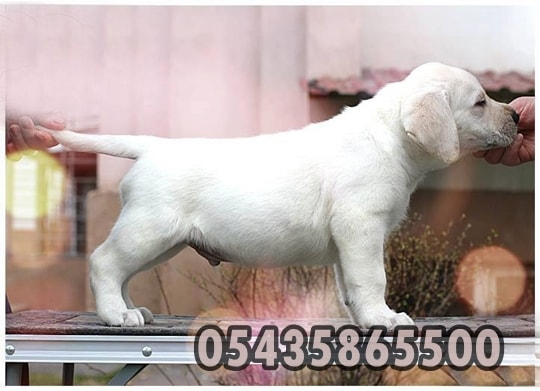 beyaz labrador retriever