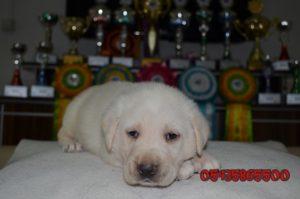 beyaz labrador yavru