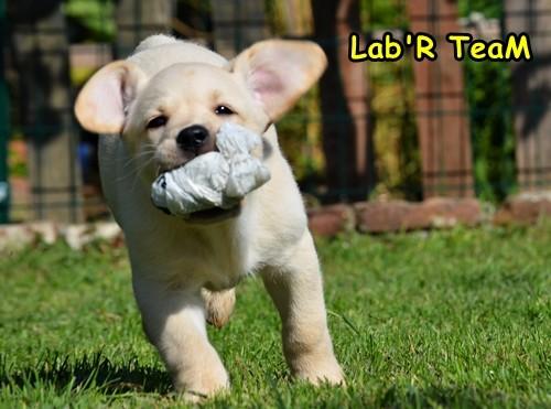 Orijinal Gerçek Labrador