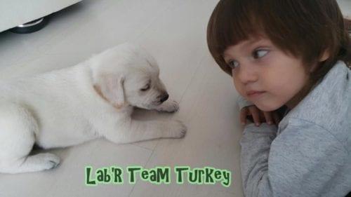 istanbul beyaz labrador yavru