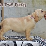 Labrador Retriever Turkey 70 days