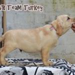Labrador Retriever Turkey 70 days