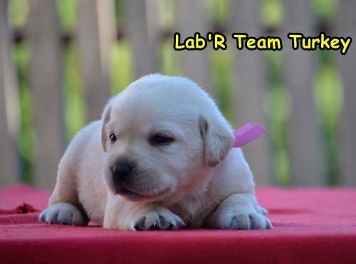 labrador retriever pembe 6