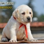 labrador retriever turkey