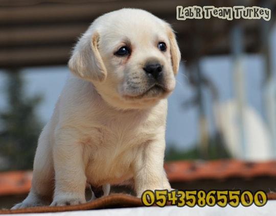 Labrador yavrularımız