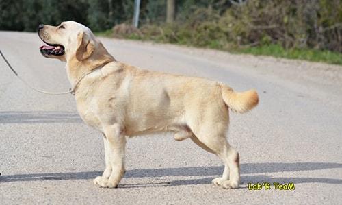 Labrador Köpek Irkı