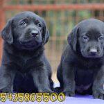 satılık siyah labrador