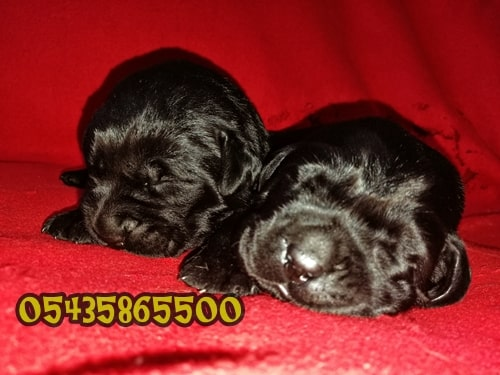 satılık siyah labrador retriever