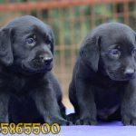 satılık siyah labrador yavruları