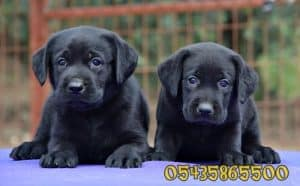 satilik labrador retriever