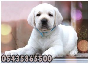 satilik beyaz labrador retriever