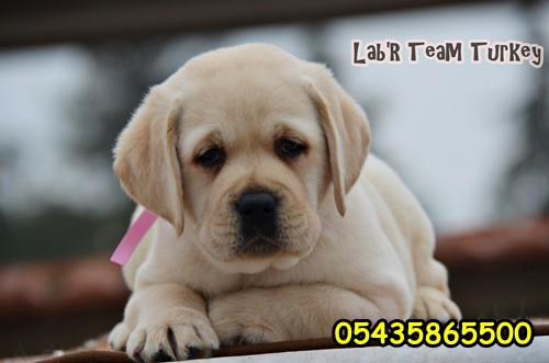 Secereli Labrador