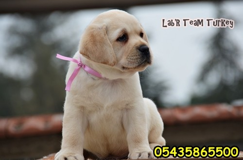 Secereli Yavru Labrador Satılık