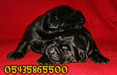 siyak labrador yavru