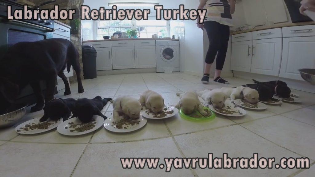 yavru labrador beslenmesi