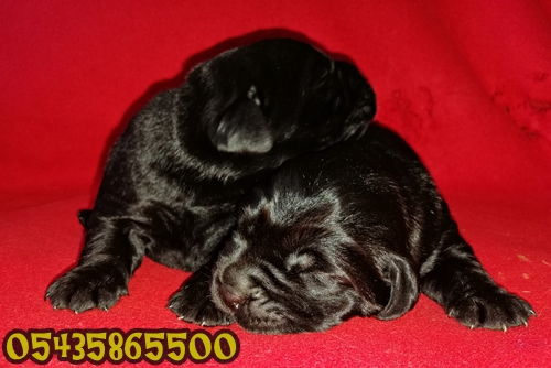 yavru labrador siyah