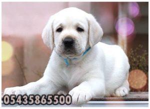 yavru beyaz labrador