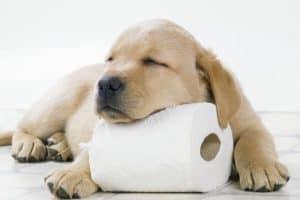yavru labrador tuvalet eğitimi