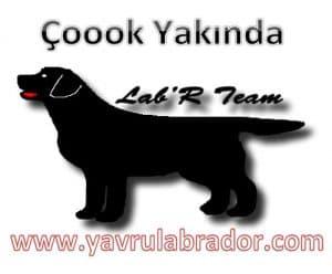 Yavru Labrador
